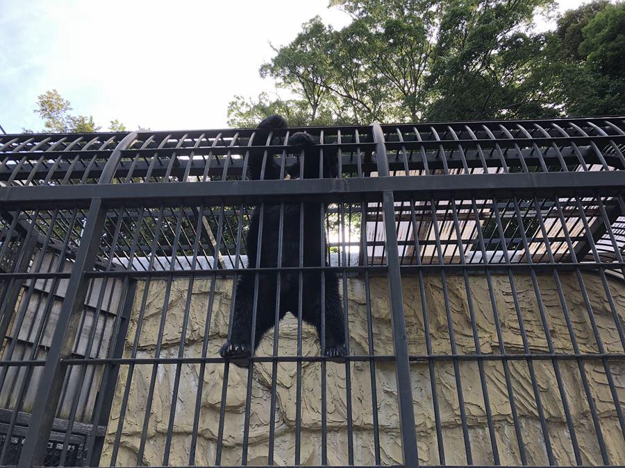 野毛山動物園のツキノワグマが餌を食べる風景