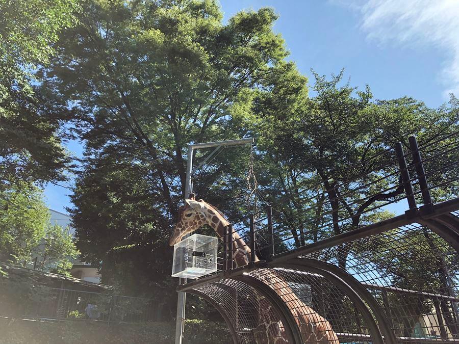 野毛山動物園のキリン
