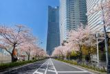 みなとみらい『さくらフェスタ2019』3月23日~31日に開催。ソメイヨシノで彩られる桜並木