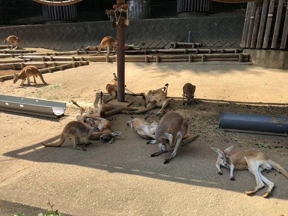 多摩動物公園のオーストラリア園にあるカンガルー広場